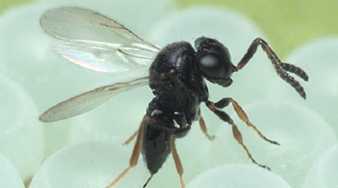 Via libera alla vespa samurai salva raccolti