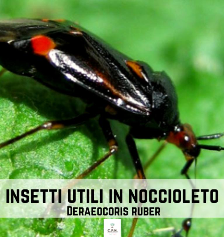 Deraeocoris ruber